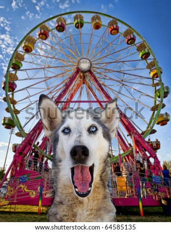 wolf mix making a funny face - stock photo