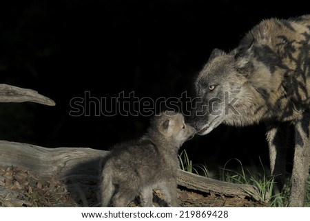 Wolf Mother with Pup - stock photo
