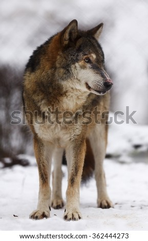 wolf on the snow