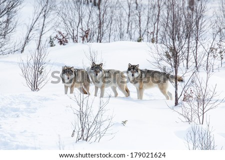 Wolf pack in a norwegian winter forest. Snowing. - stock photo