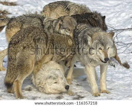 Wolf pack in dominance battle - stock photo