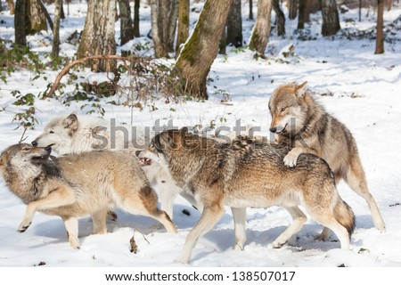 Wolf Pack Stock Images, Royalty-Free Images & Vectors ...
