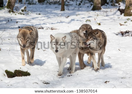 wolf pack of four timber wolves in snowy white winter forest - stock photo