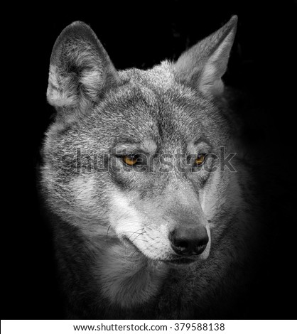 wolf portrait - stock photo