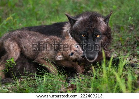 Wolf Pup (Canis lupus) Licks Mother Begging for Food - captive animals