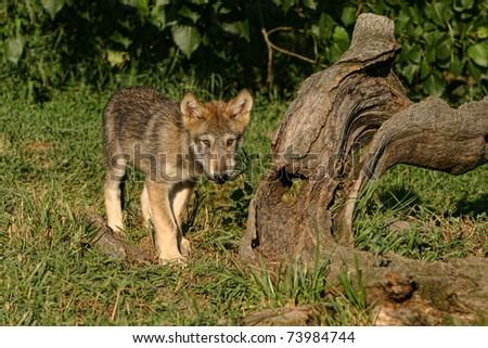 Wolf Pup in sunlight - stock photo