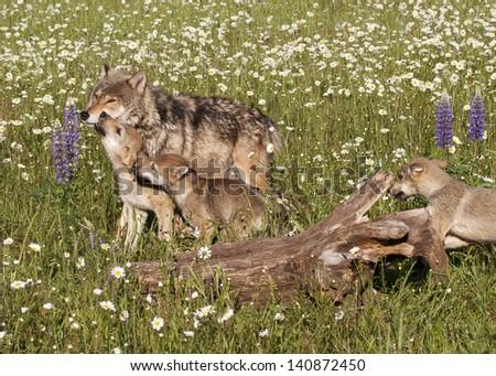 Wolf Pups Greeting Mom - stock photo