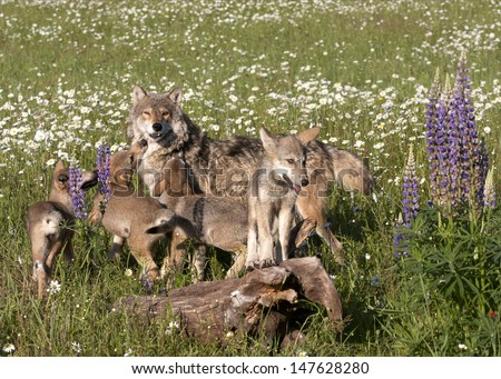 Wolf Pups Playing with Mom - stock photo