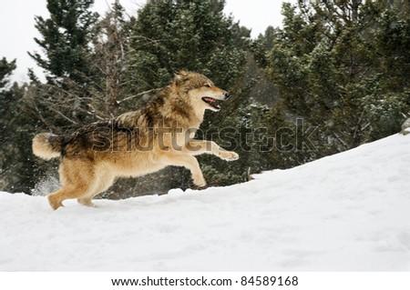 Wolf running on snowy hill - stock photo