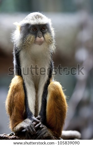Wolf's Mona Monkey - stock photo