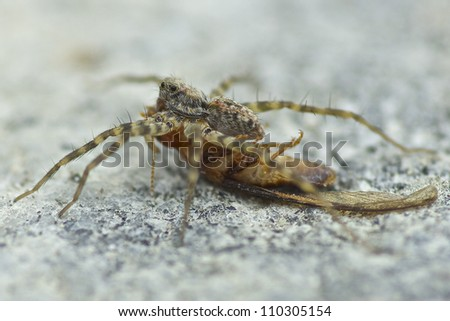 Wolf Spider - stock photo