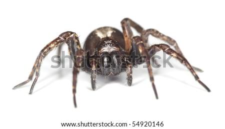 Wolf spider isolated on white background. Macro photo. - stock photo