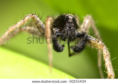 Wolf spider (Lycosidae) on a leaf, macro - stock photo