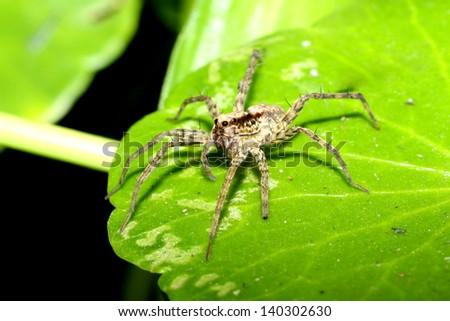 Wolf spider on leaf - stock photo