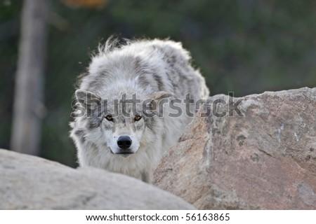 Wolf Stalking - stock photo