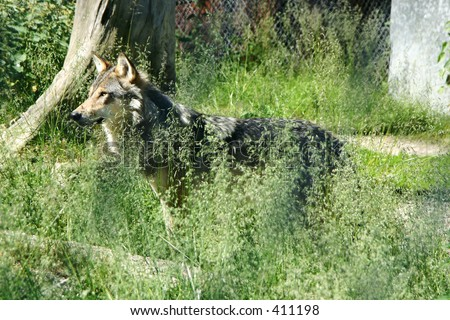 Wolf standing in the grass - stock photo
