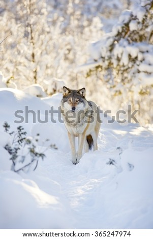 Wolf stands in beautiful winter forest - stock photo