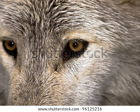 Wolf stare - stock photo