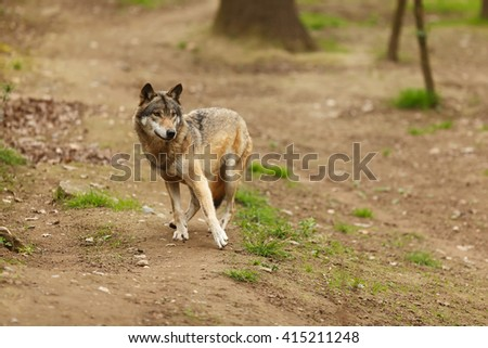wolf startled
