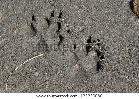 Wolf tracks in dark grey sand on the shore of the Yellowstone river in Yellowstone National park - stock photo