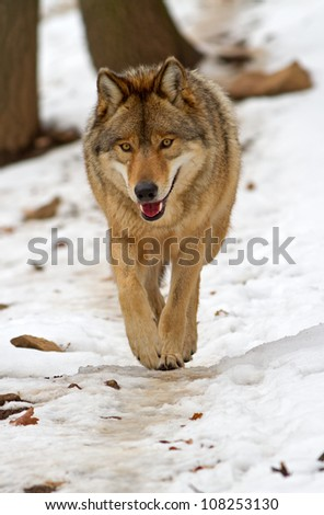 Wolf walks in the snow