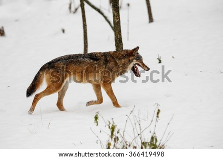 wolf wandering the snowy landscape with falling snow - stock photo