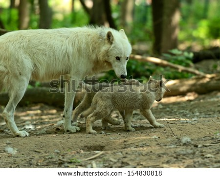 Wolf with cubs in the forest