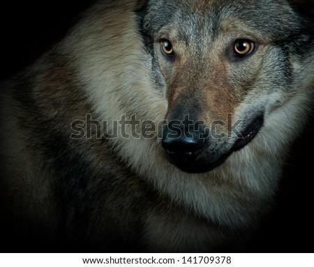 wolfdog closeup - stock photo
