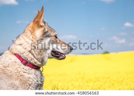 Wolfdog looking at a yellow field