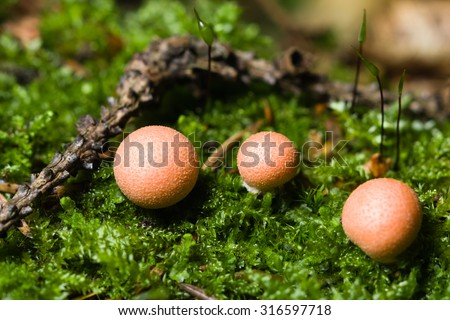 Wolfs milk, Lycogala epidendrum slime mould macro, selective focus
