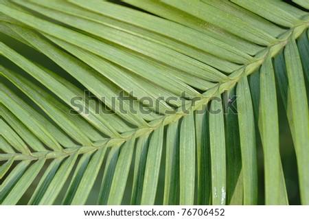 Pine Tree Leaf Pictures Wollemi Pine Tree Leaf Detail
