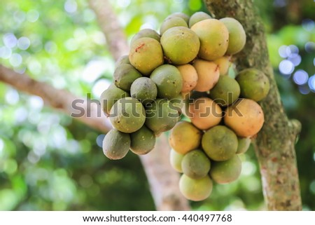 Wollongong crops in Thailand.  - stock photo