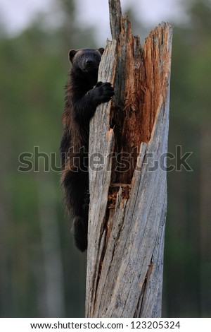 Wolverine climbing - stock photo