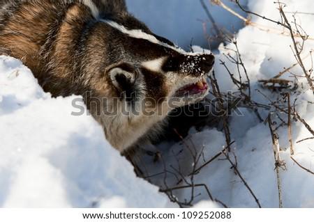 Wolverine In Snow - stock photo