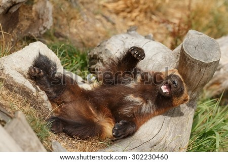 Wolverine is cool - stock photo