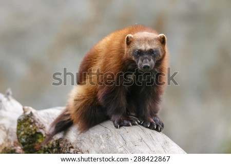 wolverine sitting on the dry trunk