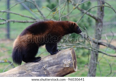 Wolverine standing on log