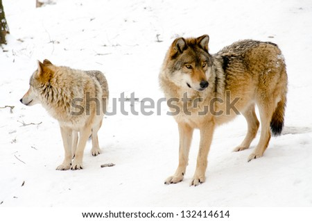 Wolves are standing on the snow