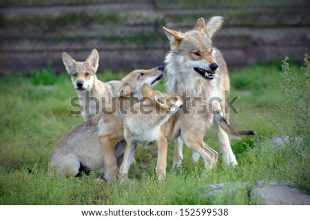wolves family - stock photo