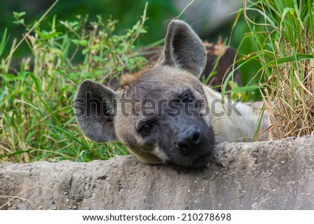 Wolves, hyena - stock photo