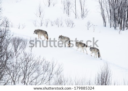 Wolves in norwegian winter forest. Snowing. - stock photo