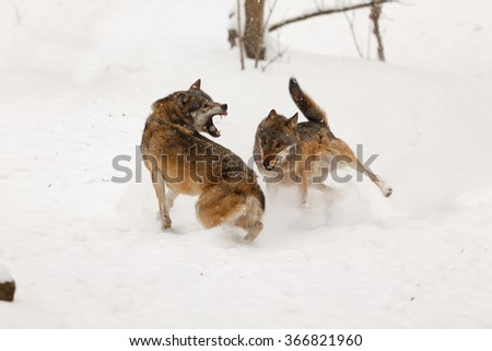 wolves is attacking each other - stock photo