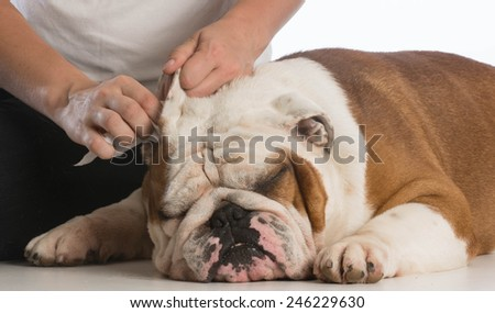 woman cleaning her dogs ears on white background - stock photo