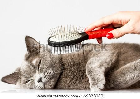 woman combing British cat on white background - stock photo