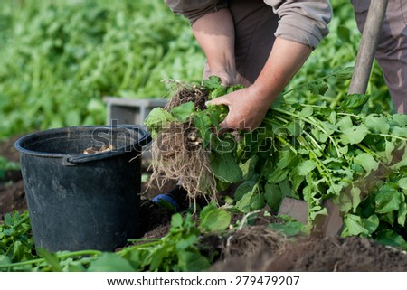 woman digging up new crop of potatoes on own small garden