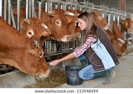 Woman feeding cows inside the barn - stock photo