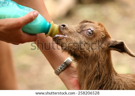 Woman feeding milk to a baby goat with a feeder - stock photo