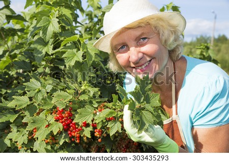 Woman gardener collecting red currant berries from the bush in garden