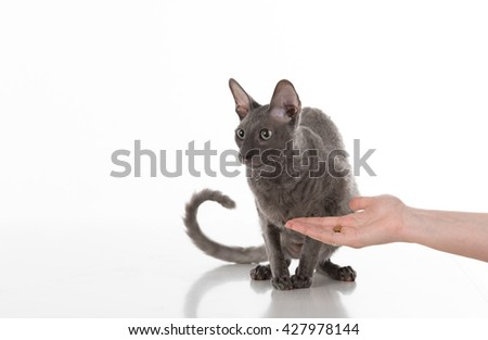 Woman Hand Feeding Black Cornish Rex Cat with food. White Background. Cat ignore it.