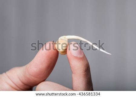 Woman hand holding seedling of sprouted chickpeas. Close up - stock photo